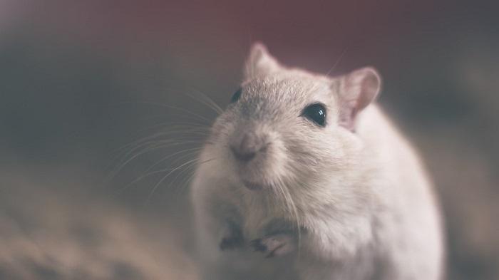 Mơ thấy chuột là điềm báo tốt hay xấu? Nên làm gì khi mơ thấy chuột