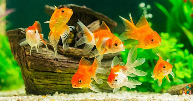 Ý nghĩa giấc mơ thấy cá vàng – Nằm mơ thấy cá vàng đánh con gì?