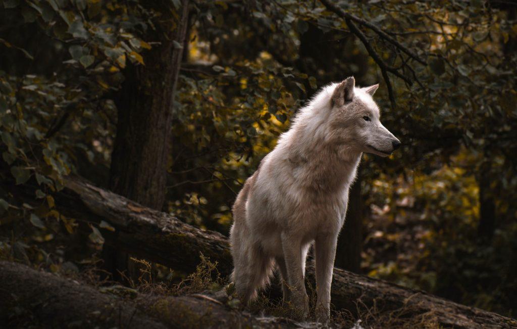 Mơ thấy con sói là điềm báo gì? Sói mang đến thông điệp gì?