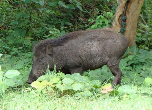 Ý nghĩa của việc mơ thấy lợn rừng là gì? Nên đánh con gì?