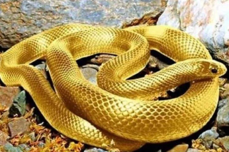 Nằm mơ thấy rắn vàng đánh đề con gì? Có điềm báo gì?